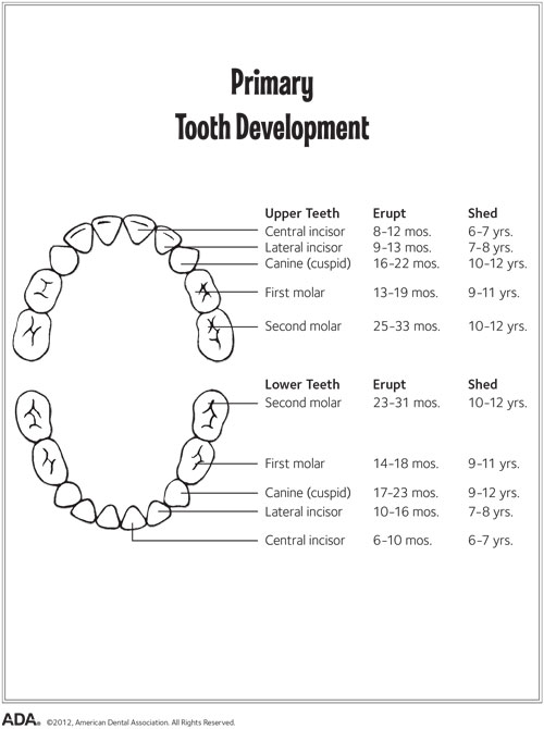 A chart showing primary teeth development.