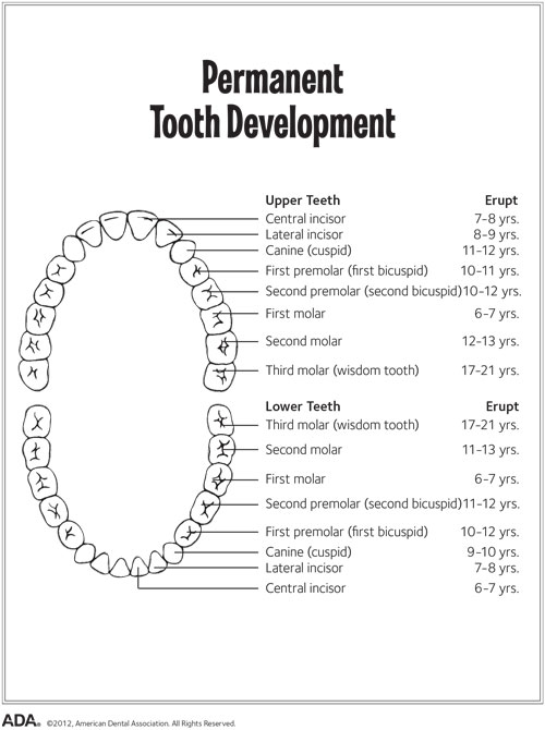 A chart showing permanent teeth development.